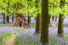 Bluebells in Beech Wood, UK