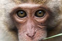 Macaque Monkey Portrait