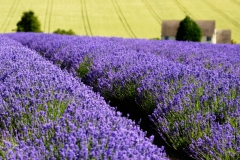 Lavender Field, Cotswolds, UK