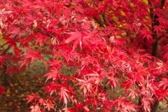 Red Acer, Autumn