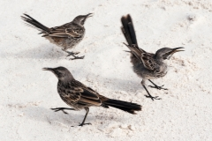 Espanola Mockingbirds, Galapagos