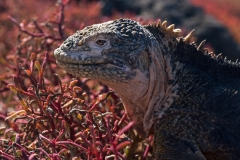 Galapagos Land Iguana, South Plaza