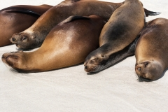 Sleepy Sea Lions, Galapagos