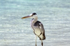 Grey Heron, Maldives