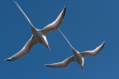 Red-billed Tropicbirds, Galapagos