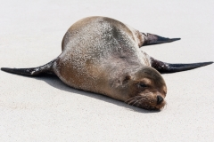 Sunbathing Sea Lion, Galapagos