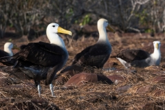 Waved Albatross Colony, Galapagos