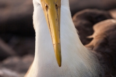 Waved Albatross Portrait, Galapagos