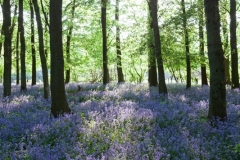 Bluebell Forest, Spring