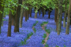 Bluebell Trail, UK