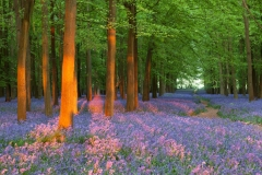 Bluebell Wood Sunset