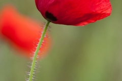 Common Poppy, Papaver rhoeas