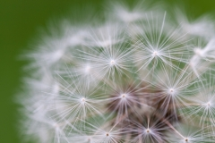 Dandelion Clock, Close Up