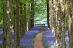 Bluebell Walk, Dockey Wood