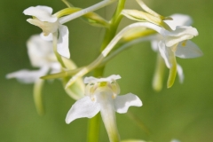 Greater Butterfly Orchid, UK