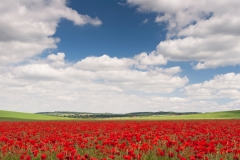 Poppy Field, Summer