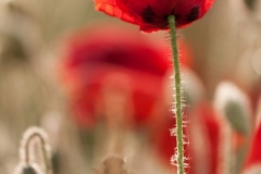 Poppy Flower, Sunrise