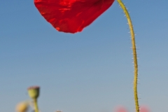 Red Poppy, Blue Sky