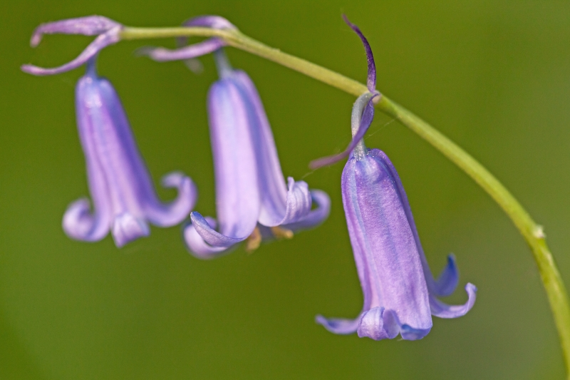 Bluebell petals against green background, flower macro