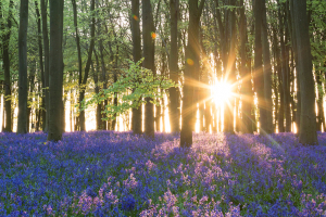 Sunburst at dawn in a beautiful bluebell wood, UK
