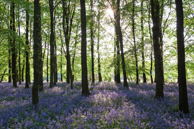 Bluebell forest, spring, UK