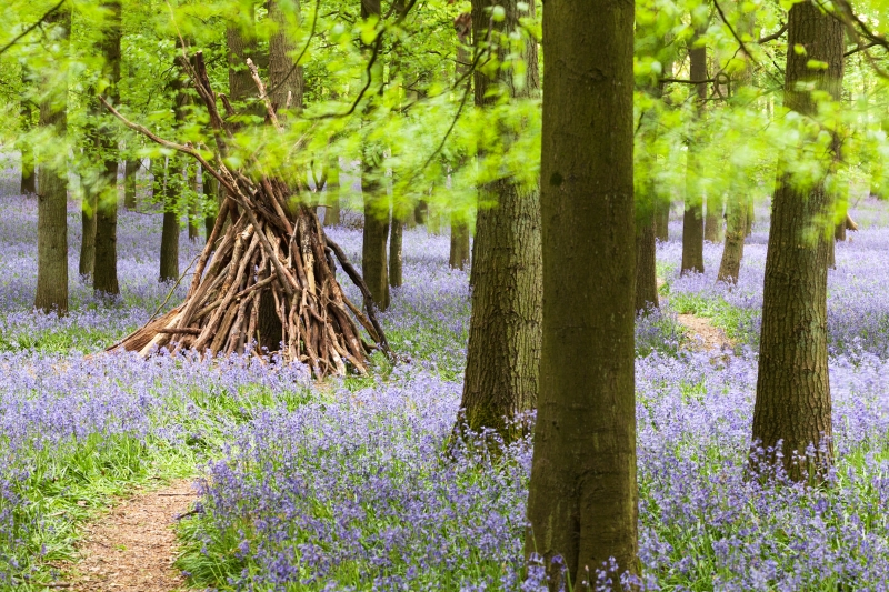 Bluebell trail and beech forest, Dockey Wood in spring, Ashridge, Hertfordshire, UK