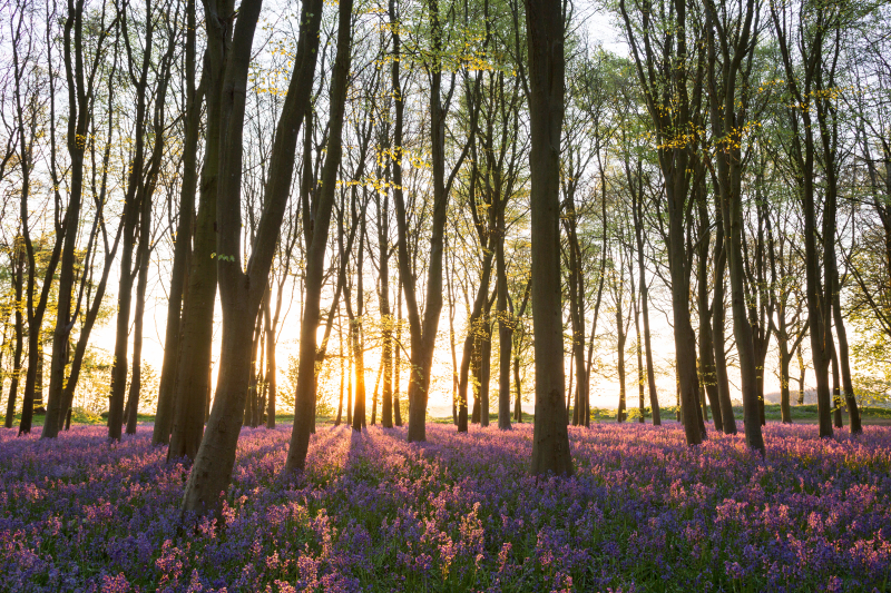 English bluebell wood at sunrise