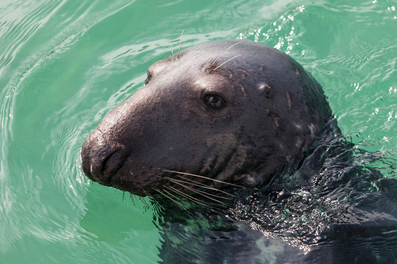 Grey seal, Cornwall