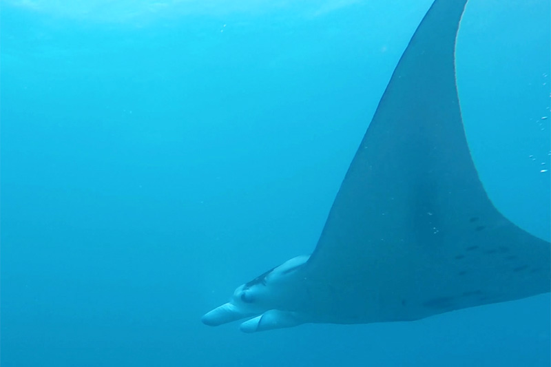 Manta ray swimming in sea, Yap
