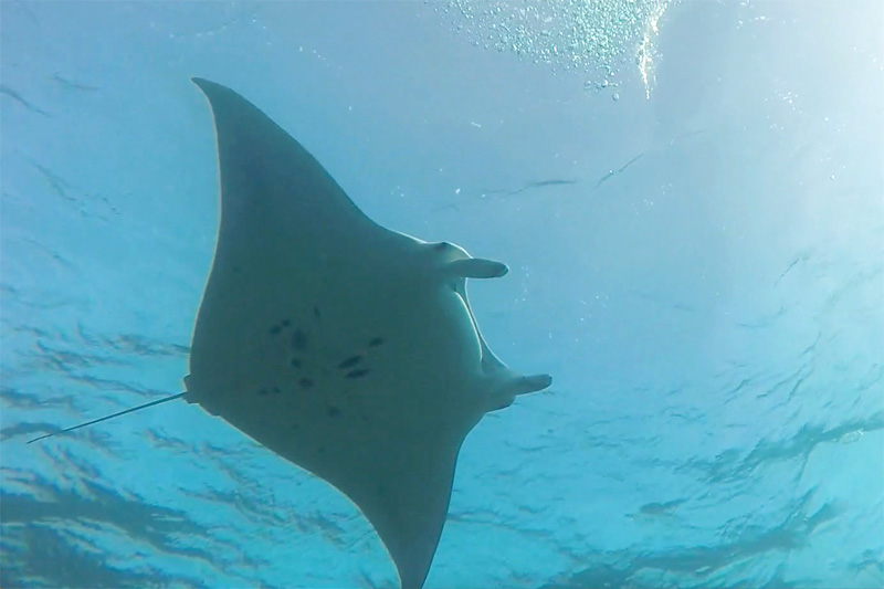 Photo ID of a manta ray