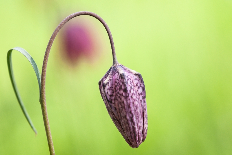 Snake's head fritillary, closed flower
