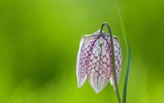 Snake's head fritillary flower, close up, UK