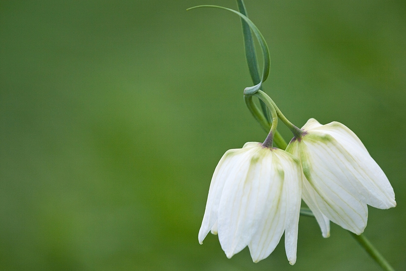 White Fritillary Flowers, Cricklade, Wiltshire